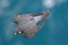 falcon in flight Raptor Bird Of Prey, Birds Of Prey, Zoo Animals, Animals And Pets, Racing Pigeons, Peregrine Falcon, Cardinal Birds, Colorful Birds, Beautiful Birds