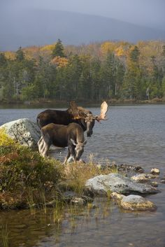 Moose in Maine: Do You Know Where to Find Them?