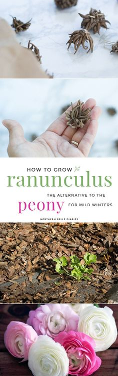 How to Grow Ranunculus The Alternative to Peonies for Mild Winters - Do you love peonies and want to grow them in your garden but live in warm coastal areas? Try planting ranunculus, aka Persian buttercups. Inexpensive and long-blooming, your vases will Cut Flower Garden, Flower Farm, Flower Gardening, Flower Beds, Winter Plants, Winter Garden, Garden Shrubs, Garden Plants, Garden Soil