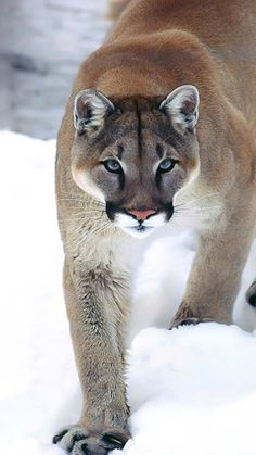 Cougar - Mountain Lion - Catamount - Puma - Painter - [Puma concolor] are all names for this large wildcat that resides from Canada right through to the far south of South America.