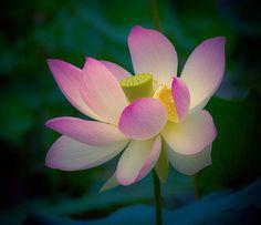 Flower - Lotus Bloom by Kim Roberts won 1st place - Fine Art America