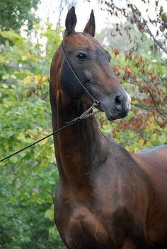 The Akhal-Teke horse breed from Turkmenistan - Equus - Horse Most Beautiful Horses, All The Pretty Horses, Cute Horses, Horse Love, Pictures With Horses, Akhal Teke Horses, Majestic Horse, Horse Photography, Horse Breeds