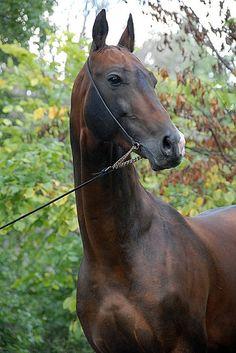 The Akhal-Teke horse breed from Turkmenistan