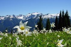 Avalanche Lilies on Mount Rainier - Elinore Theobald is a researcher at the University of Washington and, as the Seattle Times reported, is studying Avalanche lilies on Mount Rainier, the tallest mountain in Washington. These lilies and how biological interactions between them and other species respond to a changing climate.