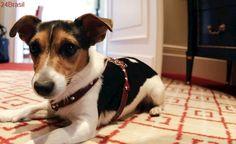 Cão é submetido a cirurgia para ficar parecido com personagem de filme