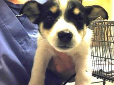 07/27/15-Meet BOGEY, a Petfinder adoptable Rat Terrier Dog | Conroe, TX | Petfinder.com is the world's largest database of adoptable pets and pet care information....