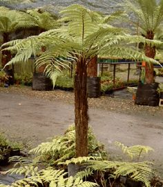 Dicksonia squarrosa – Brown tree fern or Ponga – Fronds New Zealand, suppliers o… - Modern Shade Trees, Shade Plants, Fern Plant, Trees To Plant, Garden Shrubs, Garden Plants, Tropical Garden, Tropical Plants, Landscape Design