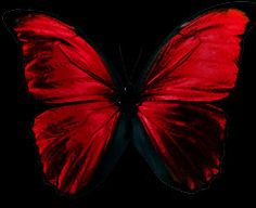 . Red Butterfly on black background. $blackandred #butterfly http://www.pinterest.com/TheHitman14/black-and-red/