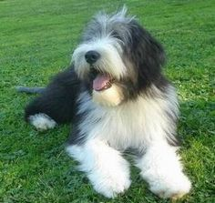 so happy. Animal Poems, Dog Poems, Dogs And Puppies, Doggies, Sheep Dogs, Bearded Collie Puppies, Perro Fox Terrier, Animals And Pets, Cute Animals