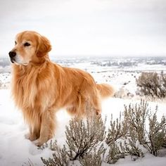 Brasil ♥ Best Dogs For Families, Family Dogs, Pet Dogs, Dog Cat, Pets, Doggies, Raza Golden Retriever, Golden Retrievers, Cute Dog Pictures