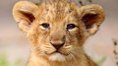 young_lion_baby_kitty_animals_ultra_3840x2160_hd-wallpaper-370404.jpg (3840×2160)
