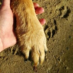 Apache's paw in my hand. His paw print in the sand and my heart! Therapy Dogs, Rainbow Bridge, German Shepherds, My Heart Is Breaking, My Best Friend, In This World, Your Dog, Dog Lovers, Pets