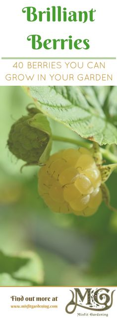 Berries are highly productive fruit in small #garden spaces. Click to find out 40 types you can grow or pin it to save for later