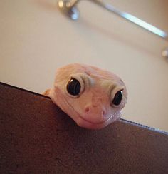 Leopard gecko - the cuteness! Can't stand it!