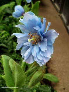 """Meconopsis """"Lingholm"""" with double flowered bloom on display at Longwood Gardens in Chadd's Ford, Pennsylvania"""