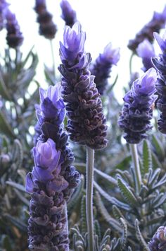 Lavender is a fantastic plant to have around  it looks good, it smells amazing, and it can be harvested for use in cooking and making sachets. It's…