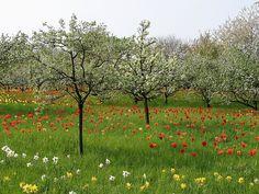 naturalised bulbs in wild meadow - Google Search