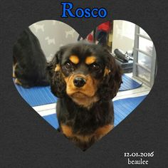Rosco the King Charles  xx