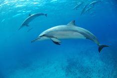 Nadar com os golfinhos em Fernando de Noronha