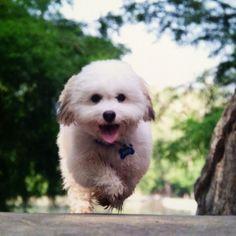 coton de tulear - hair cut for Ranger  Favourite type of dog