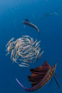 Sailfish hunting a sardine bait ball Photo by: Peter Allinson. Cancun, Mexico. sea life, animals, ocean, ocean life, aquatic animals, fish, fishes, marine biology, water, under water life #sealife #marine