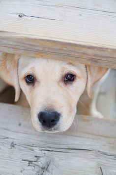 Yellow Labs Labrador Retriever #Dogs #Puppy