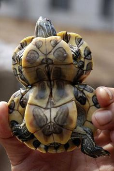 "someone had to draw the short stick...""A gourd-shaped tortoise is seen in Huaibei, east China's Anhui Province, June 24, 2007. Residents say a gene mutation contributed to the aberration, local media reported.""  (China Daily/ Reuters )"