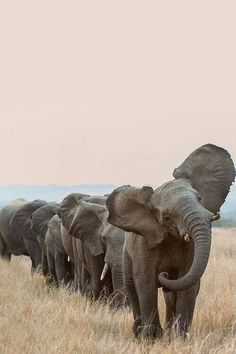 la marche des éléphants , superbe !