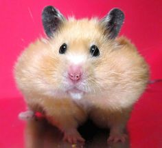 Hamster with Chubby Cheeks