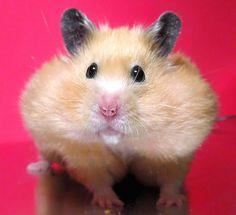 Hamster with Chubby Cheeks
