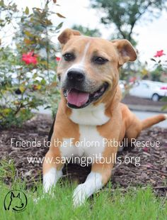 Sunny is an adoptable Dog - Pit Bull Terrier searching for a forever family near Dallas, GA. Use Petfinder to find adoptable pets in your area.