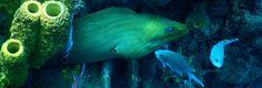 Murène verte dans les profondeurs de la baie de #deshaies