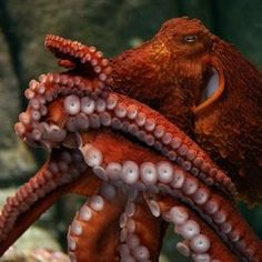 Tentacles: The Astounding Lives of Octopuses, Squid and Cuttlefishes at the Monterey Bay Aquarium