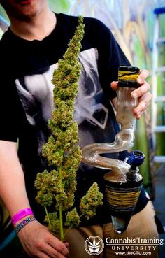 The leading thc university, the best 420 college, the ultimate cannabis training…
