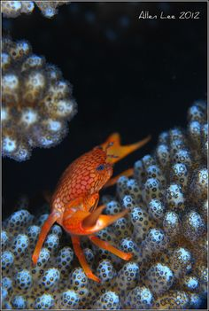 Crab in gorgeous coral