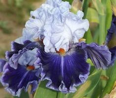 tall bearded iris irises blyth