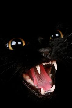 Black Cat, love the details. Cool Cats, I Love Cats, Beautiful Cats, Animals Beautiful, Cute Animals, Crazy Cat Lady, Crazy Cats, Chat Halloween, Halloween Pictures