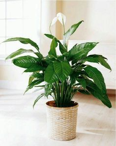 deze planten zorgen voor gezonde lucht | lepelplant
