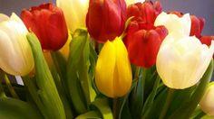 Tulpen rood-wit-geel