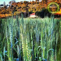 Foto do @fredagro Universidade Federal de Viçosa #agricultura_bruta  _________________________________________________ #farm #fazenda #harvest #colheita #corn #country #agronomia #agriculture #claas #caseih #tractor #combine #plantio #agro #agriculture #fazenda #farmlife #trator #bruto #soja #milho #brasil #algodao #stara #jd #combine #agronegocios #agronegocio by agricultura_bruta