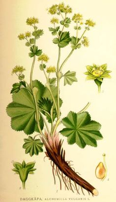 Frauenmantel schützt die Gesundheit der Frau, kann aber noch einiges mehr Lady's mantle is one of the most important medicinal herbs for women. Many healing treatments go beyond typical women's complaints – get to know them!