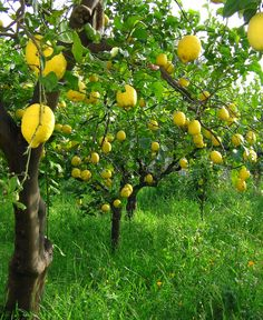 Sicilian lemon trees