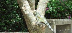 Bezoek van een leguaan Hij wil graag in de boom klimmen, maar het lukt hem niet. Bij Happy Turtle, Curacao Happy Turtle, Animals, Animales, Animaux, Animal, Animais