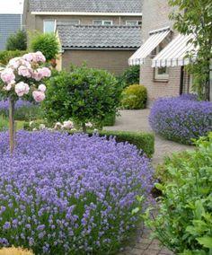 Lavendel munstead, 2x per jaar snoeien dan wordt het 'n mooi haagje of zoals hier 'n mooie wolk onder de stamroos.