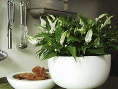 Qué planta pongo: el Spathiphyllum (I) Indoor Garden, Indoor Plants, Peace Lily, Houseplants, Container Gardening, Green, Blog, Vases, Garden
