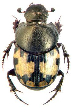 Onthophagus leucomelas   http://storage.canalblog.com/77/34/119589/108257863_o.jpg