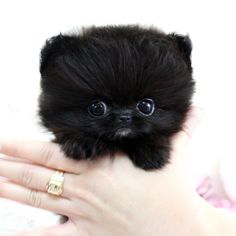 Sweet black puppy fluff
