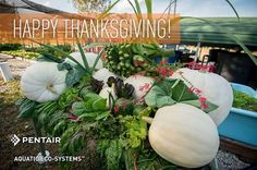 We want to wish you a Happy Thanksgiving from the Pentair AES team and our bountiful Aquaponics cornucopia.See the full list of what we grew in our backyard aquaponics spread!  Read more:  http://pentairaes.com/learn-about-aquaculture/events/thanksgiving-from-pentairaes