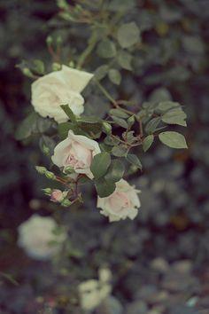 Pink roses photography botanical prints nature by BonVoyageStudio