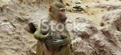 Baboon Monkey chilling in the zoo Royalty Free Stock Photo #baboon #ape #apes #monkeys #Africa #zoo #profile #portfolio #stock #stock_photography #istock #BAphotography